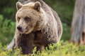 Close up portrait of Adult Wild Brown bear Royalty Free Stock Photo