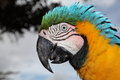 Close up portrait of an alarmed macaw taken near brasilia in brazil Royalty Free Stock Photo