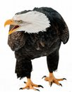 Close up Portrait of a Bald eagle with an open beak . Royalty Free Stock Photo