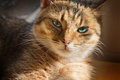 Close up portrait of beautiful domestic cat Royalty Free Stock Photo