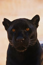 Close up portrait of black jaguar; Panthera onca Royalty Free Stock Photo