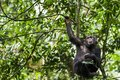 Close up portrait of chimpanzee Pan troglodytes resting on the tree in the jungle Royalty Free Stock Photo