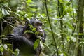 Close up portrait of chimpanzee ( Pan troglodytes ) resting in the jungle. Royalty Free Stock Photo