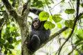Close up portrait of chimpanzee ( Pan troglodytes ) Royalty Free Stock Photo