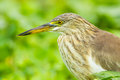Close up portrait of chinese pond heron ardeola bacchus Royalty Free Stock Photos