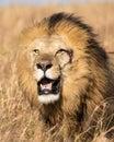 Close up Portrait of Elewana or Sand River Male Lion, Leo panthera Royalty Free Stock Photo