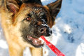 Close-up portrait of german shepherd dog playing with rubber pet toy, ball in a winter snowy field.  nine months age Royalty Free Stock Photo