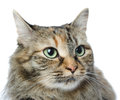 Close up portrait of green eyed siberian cat looking away isol Royalty Free Stock Photography