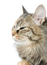 Close-up portrait of green-eyed Siberian cat. look Royalty Free Stock Photo