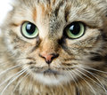 Close up portrait of green eyed siberian cat looking at camera Royalty Free Stock Image