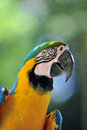 Close up portrait image of blue and yellow macaw Stock Photos