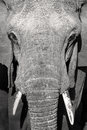 Close up portrait of large wild african elephant big and old in serengeti animal in tanzania africa Stock Images