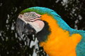 Close up portrait of a macaw taken near brasilia in brazil Stock Images