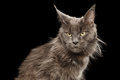 Close-up Portrait Maine Coon Cat on Black Background Royalty Free Stock Photo