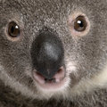 Close-up portrait of male Koala bear, Royalty Free Stock Photos