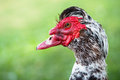 Close up portrait of male muscovy duck with warty head Royalty Free Stock Photo