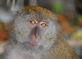 Close up portrait of a monkey in the jungle Royalty Free Stock Images