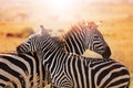Close-up portrait of mother zebra with its foal Royalty Free Stock Photo
