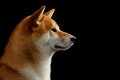 Close-up Portrait in Profile Shiba inu Dog,  Black Background Royalty Free Stock Photo
