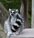 Close Up portrait Of Ring Tailed Lemur (Lemur catt Royalty Free Stock Photo