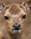 Close up portrait of roe deer which is looking at the camera Royalty Free Stock Images