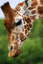 Close-up portrait of a Rothschild Giraffe Royalty Free Stock Photos