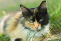 Close-up portrait of three colored cat Royalty Free Stock Photo