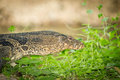 Close up portrait of water monitor the or varanus salvator Stock Images
