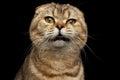 Close-up Portrait Weird drank Scottish fold Cat Isolated on Black Royalty Free Stock Photo