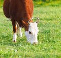 Close up portrait of the white and brown cow Royalty Free Stock Photo