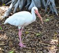 Close-up portrait of White Ibis Royalty Free Stock Photo
