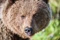 Close up portrait of the Wild Brown bear Royalty Free Stock Photo