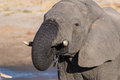 Close up and portrait of a young African Elephant drinking from waterhole. Wildlife Safari in the Chobe National Park, travel dest Royalty Free Stock Photo
