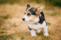 Close up portrait of young happy puppy welsh corgi dog in dry grass outdoor the is a small type herding dog that Royalty Free Stock Images