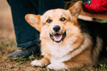 Close up portrait of young happy welsh corgi dog in dry grass outdoor the is a small type herding that Stock Photo