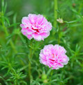 Close up portulaca flower in the garden a photo of Stock Photography