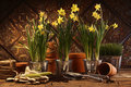 Close-up of potted daffodils in potting shed Royalty Free Stock Image