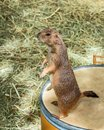 Close up Prairie dog standing upright. Royalty Free Stock Photo