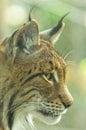 Close up profile shot of Eurasian Lynx Royalty Free Stock Photo