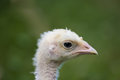 Close up profile of young turkey poult Royalty Free Stock Photo