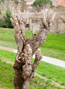 Close up of pruned tree detail the pruning the branches Royalty Free Stock Photo