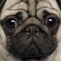 Close-up of Pug Royalty Free Stock Photos