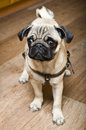 Close-up of Pug Royalty Free Stock Photo