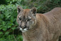 Close up of a puma he cougar concolor also commonly known as the mountain lion panther or catamount is large feline the subfamily Royalty Free Stock Images