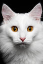 Close-up Pure white cat on the black background Royalty Free Stock Photo