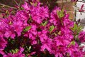 Close up of purple Azalea in full bloom in spring Royalty Free Stock Photo