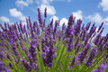 Close up of purple lavender in front of picturesque sky. Sommer Royalty Free Stock Photo