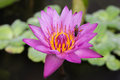 Close up of purple lotus and bee in garden Royalty Free Stock Photos