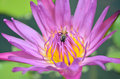 Close up of purple lotus and bee soft focus Royalty Free Stock Image