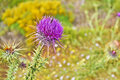 Close up of a purple thistle flower with a bee Royalty Free Stock Photo